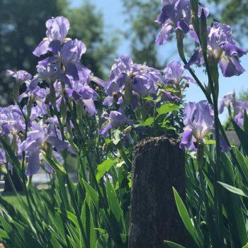 Iris patch in Denton