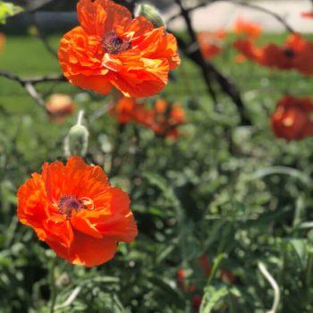 Poppy's growing in Denton