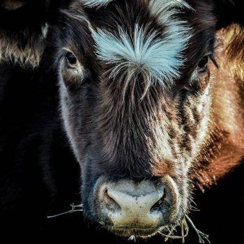 """Royal Ruby""- 4-H show Heifer captured in my grandparents pasture in Bendena, KS"