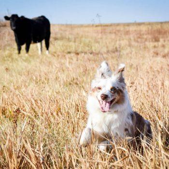 """Herding Reba"" - Captured West of Bendena, KS"